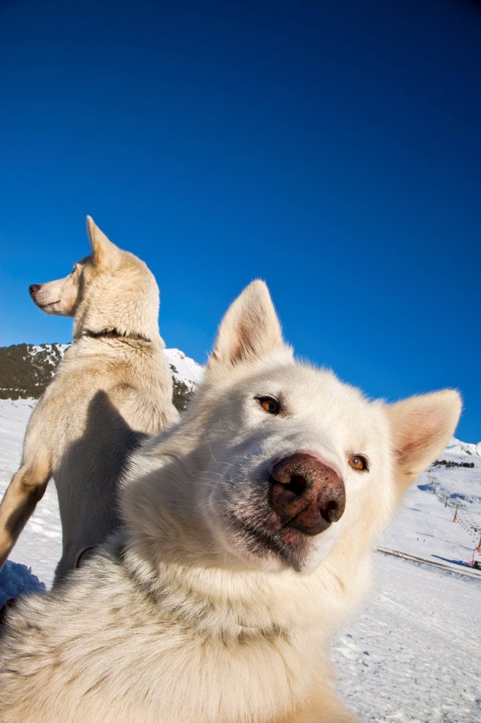 Stock Photo: 1566-1215307 Pirena Advance is a 15 days long sleddog race across the Pyrenees  Spain-France-Andorra Scoring for the world sleddog championship, it is one of the reference races in Europe  It has been held between January and February for 22 years Baqueira  Baqueira B