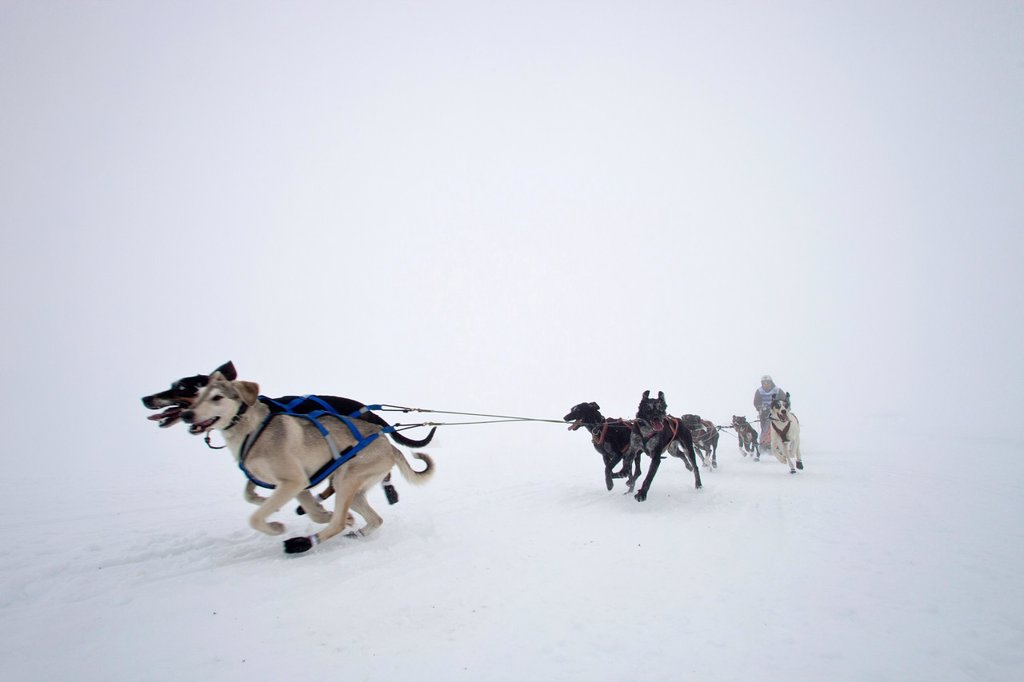 Stock Photo: 1566-1215319 Pirena Advance is a 15 days long sleddog race across the Pyrenees  Spain-France-Andorra Scoring for the world sleddog championship, it is one of the reference races in Europe  It has been held between January and February for 22 years Pirena  Sled  Dog  R