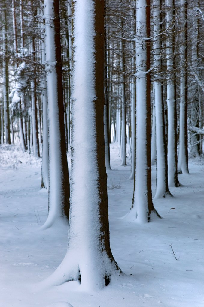 Stock Photo: 1566-1215385 Woodland at Ringshall Hertfordshire in Snow