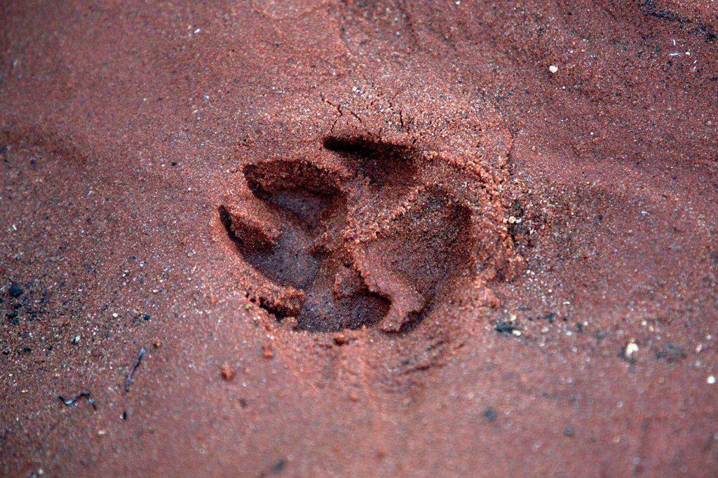 Dingo track  Central Australia : Stock Photo