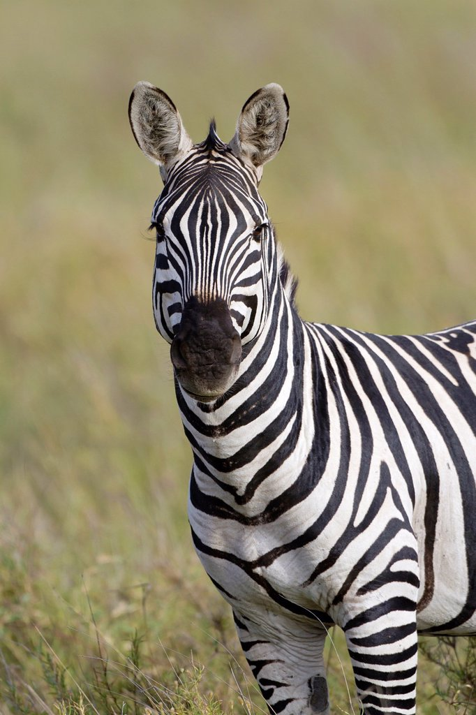 Stock Photo: 1566-1217946 Plains Zebra Equus quagga in savannah, Serengeti National Park, Tanzania