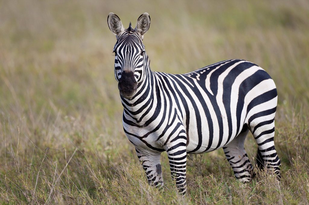 Stock Photo: 1566-1217947 Plains Zebra Equus quagga in savannah, Serengeti National Park, Tanzania