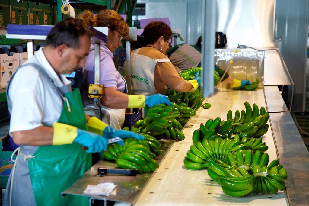 Stock Photo: 1566-1218228 Handling and packaging of bananas, San Andres y Sauces, La Palma, Canary Island, Spain.