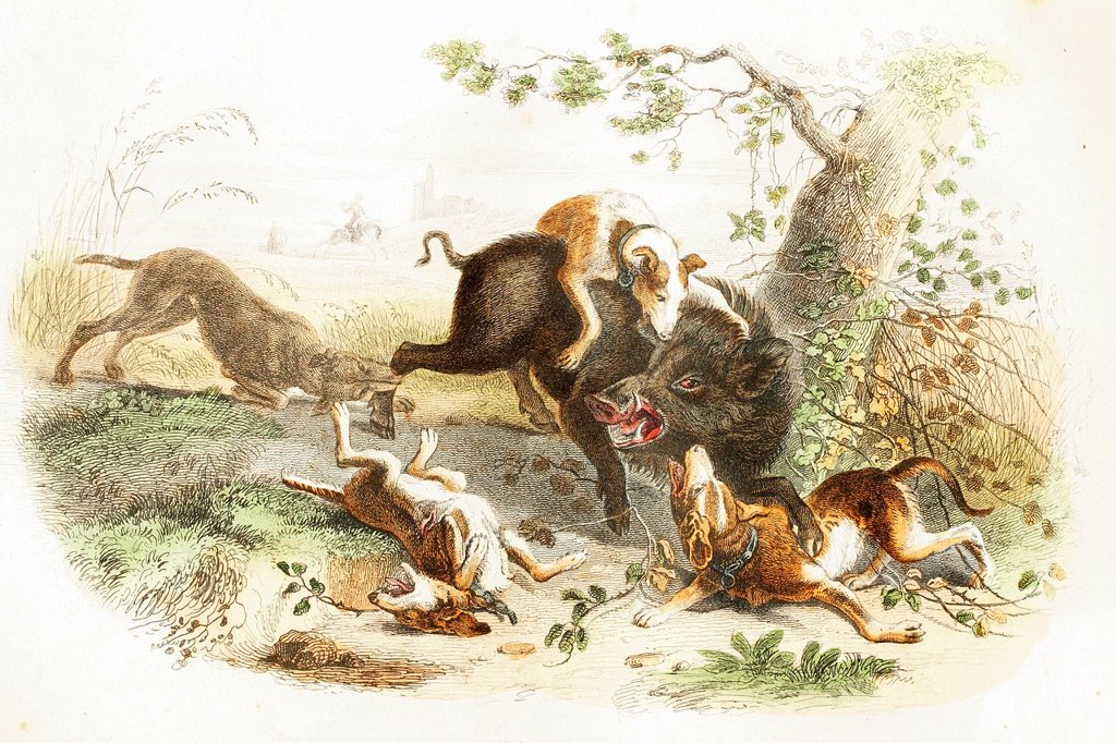 Boar with a pack of dogs  Antique illustration, 1856 : Stock Photo