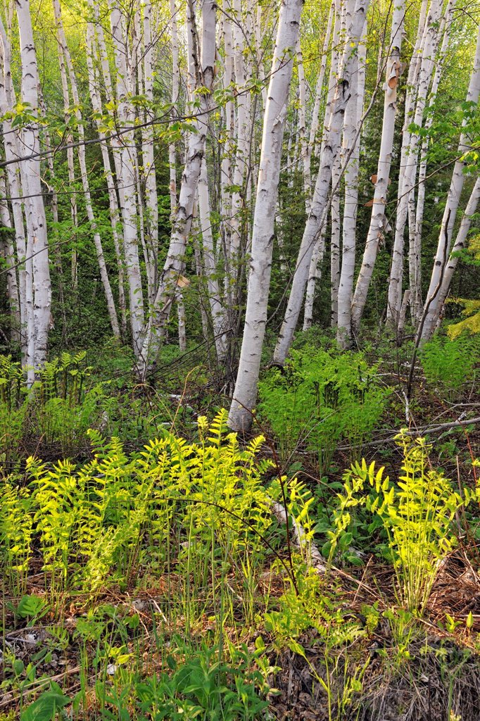 Woodland birches and ferns, Wanup, Ontario, Canada : Stock Photo