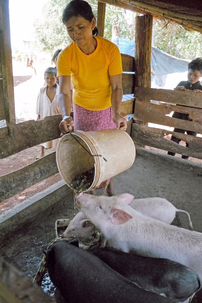 Stock Photo: 1566-1222307 CAMBODIA photography by Sean Sprague  Projects of Caritas Cambodia, funded by SCIAF   Chong Phang Borikong village, Puchrey commune   Beneficiary Mrs Song Young 50 who has chickens, pigs and msquito nets  Feeding pigs