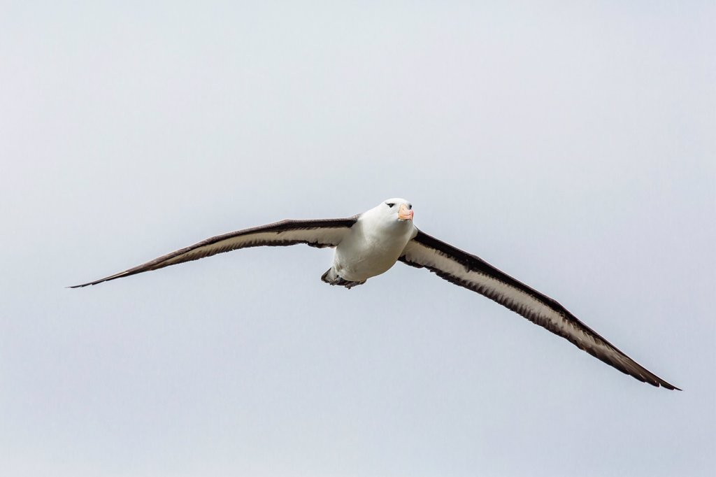 Stock Photo: 1566-1226120 Adult black-browed Albatross Thalassarche melanophrys on the wing in the Wildlife Conservation Society Preserve of Karukinka, Strait of Magellan, Chile