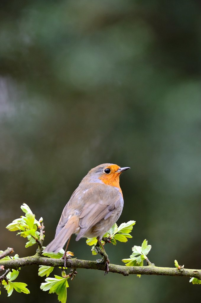 Stock Photo: 1566-1230160 European Robin, Erithacus rubecula, on hawthorn bush, West Lothian, Scotland