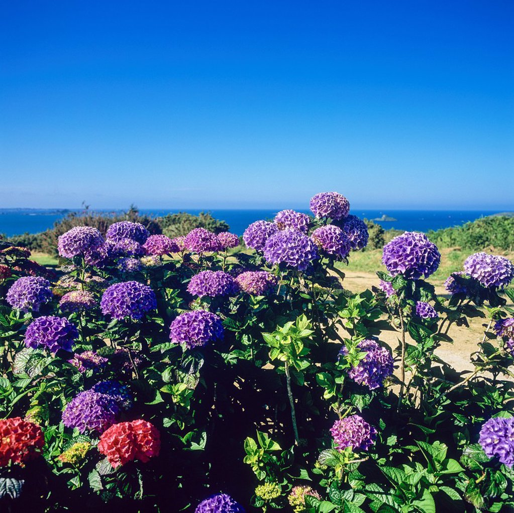 Hydrangea flowers at seaside ´Plouezec´ Brittany France : Stock Photo