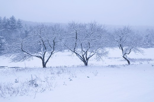 Three snow covered trees, Stowe, Vermont, USA : Stock Photo