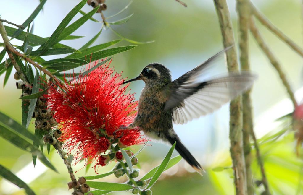 Stock Photo: 1566-1276644 Speckled Hummingbird Venezuela