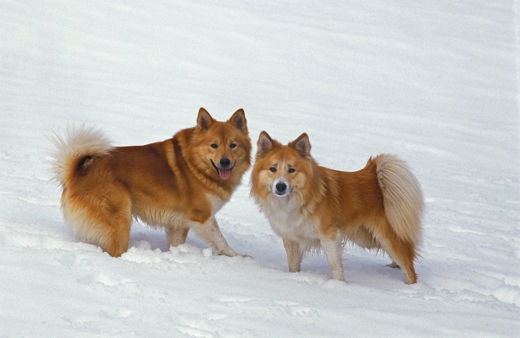 Iceland Dog or Icelandic Sheepdog playing in Snow. : Stock Photo