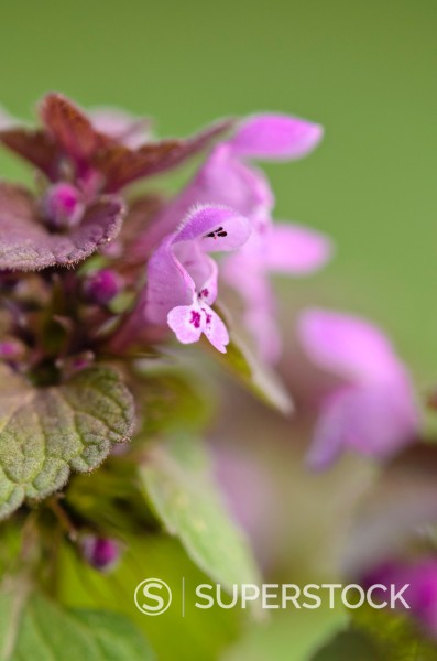 Stock Photo: 1566-1355445 Red dead nettle (Lamium purpureum).