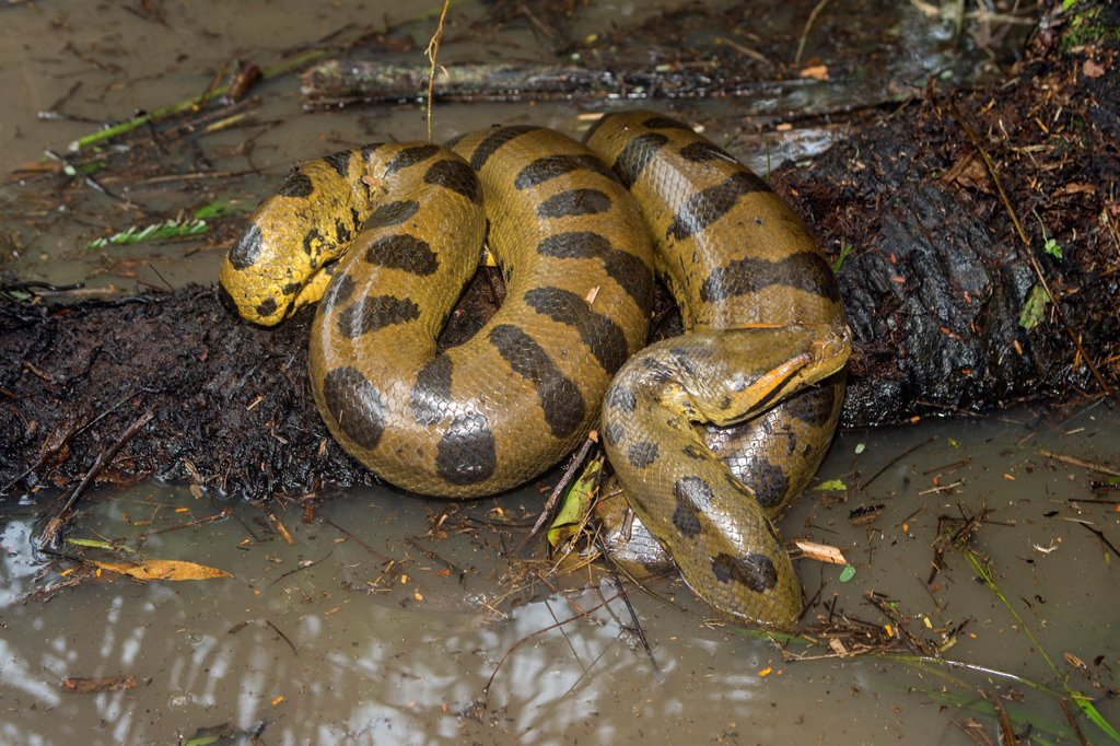 amazon river anaconda. south america brazil amazonas state manaus amazon river basin anaconda green common eunectes murinus with a spectacled caiman n