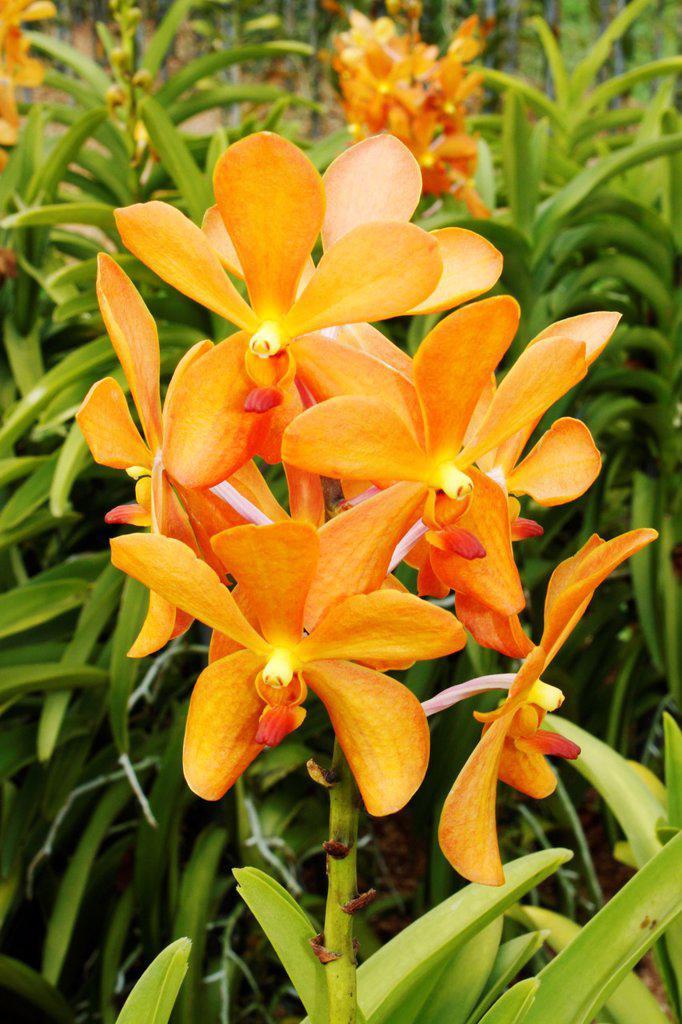 Stock Photo: 1566-1402479 Orchid Park, Mokara Gold Nugget Orange, Taman Orkid, Kuala Lumpur, Malaysia..