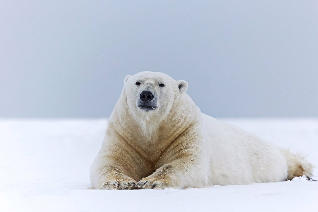 Stock Photo: 1566-1406911 United States , Alaska , Arctic National Wildlife Refuge , Kaktovik , Polar Bear( Ursus maritimus ) , adult male , along a barrier island outside Kaktovik, Alaska. Every fall, polar bears (Ursus maritimus) gather near Kaktovik on the northern edge of ANWR, Arctic Alaska, Fall.