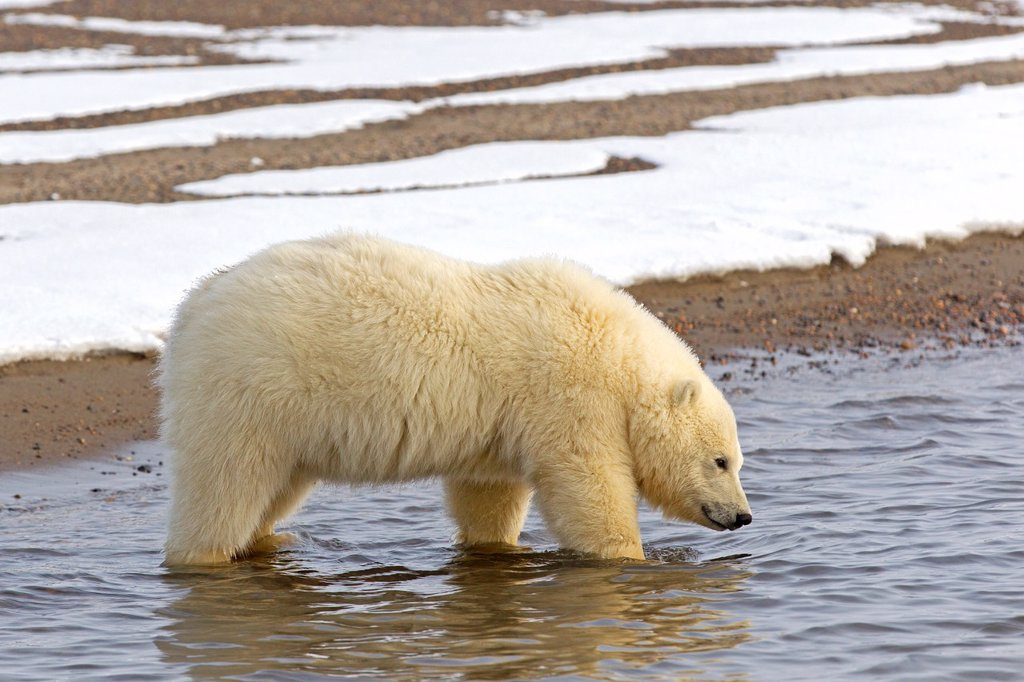 Stock Photo: 1566-1406946 United States , Alaska , Arctic National Wildlife Refuge , Kaktovik , Polar Bear( Ursus maritimus ) , yearling along a barrier island outside Kaktovik, Alaska. Every fall, polar bears (Ursus maritimus) gather near Kaktovik on the northern edge of ANWR, Arctic Alaska, Fall.