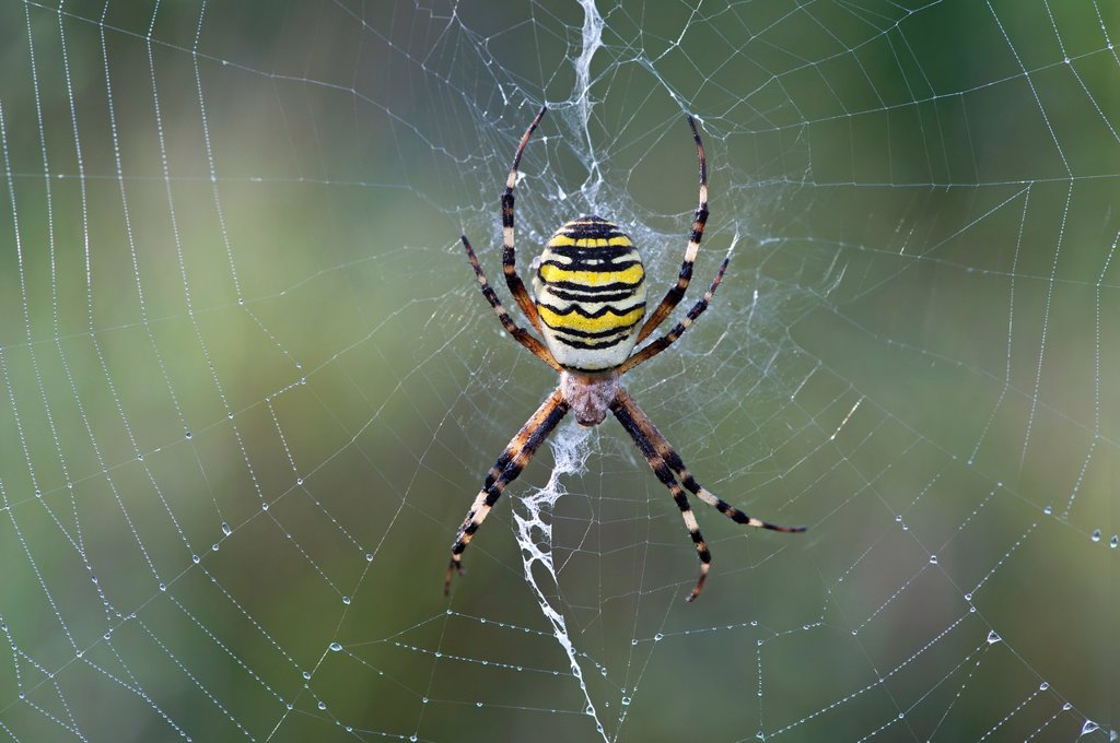 Stock Photo: 1566-1410788 Wasp spider (Argiope bruennichi), sitting in the center of its net decorated with a vertical zigzag-type band of silk called stabilimentum, Typical orb-weaver spiders (Araneidae).