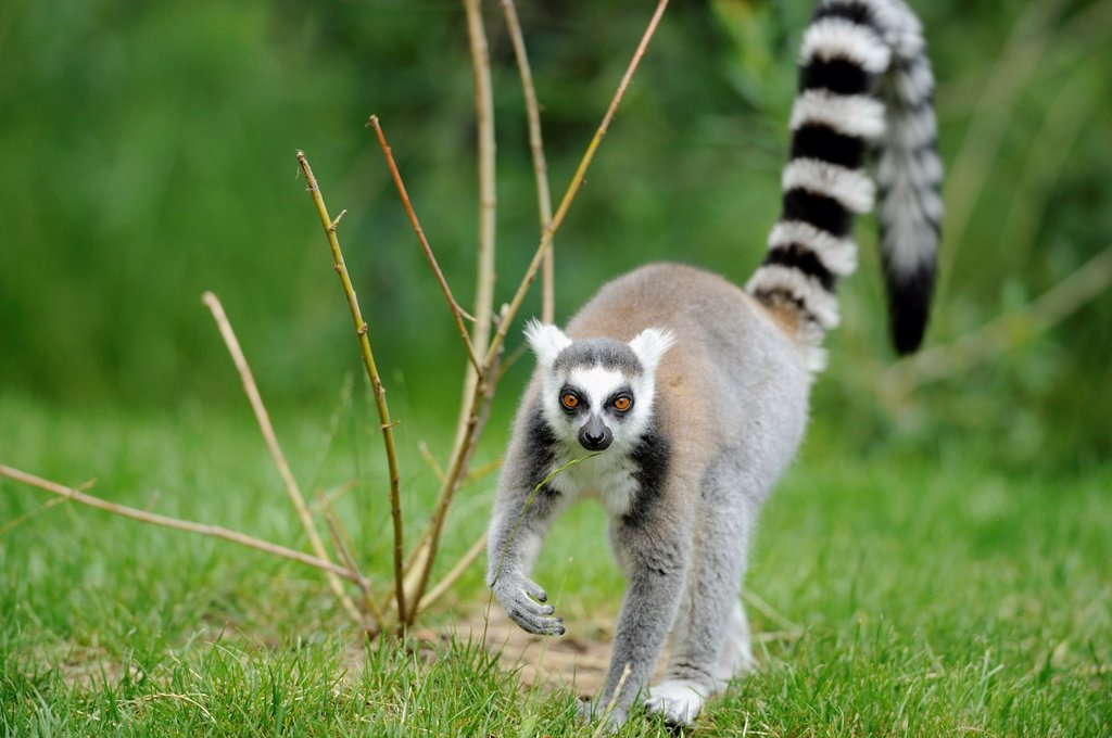 Stock Photo: 1566-1416456 Close-up of a ring-tailed lemur Lemur catta on the ground