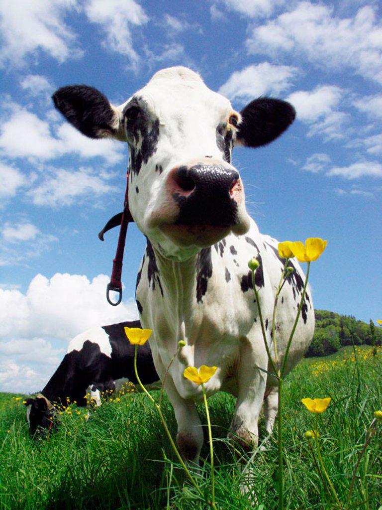 Stock Photo: 1566-247160 Holstein cow