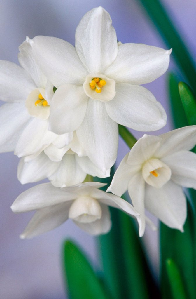 Narcissus ´Paper White´ (fam. Amaryllidaceae) in private garden. Southern Oregon coast, USA : Stock Photo