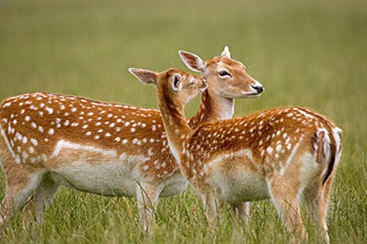 Stock Photo: 1566-249380 Fallow Deer (Dama dama).