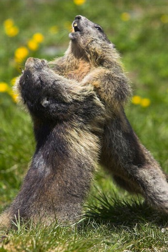Stock Photo: 1566-249553 Marmoto marmota, Nationalpark Hohe Tauern. Austrian Alps.