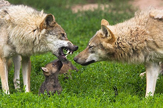 Wolf, Canis lupus, Cub Captive, Germany : Stock Photo
