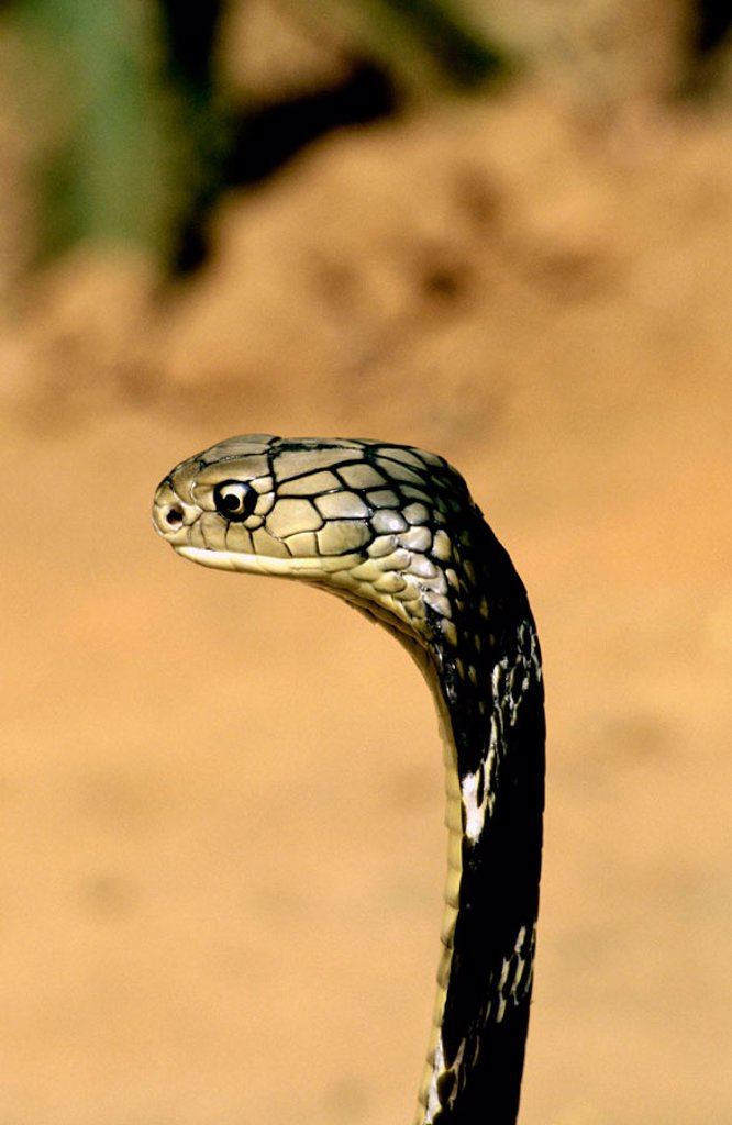 Stock Photo: 1566-249684 King cobra at Patia. Bhubaneswar. India.