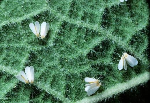 Adult White Flies (Bemisia tabaci or Trialeurodes vaporarium), Homopteran garden and crop pests : Stock Photo