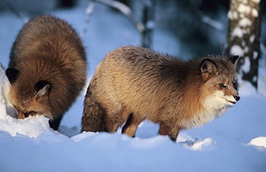 Red Foxes (Vulpes vulpes) looking for food in the wintry taiga near Kuusamo. Finland : Stock Photo