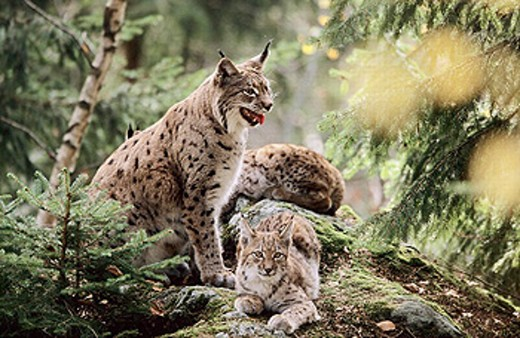 Family life of Lynxes (Lynx lynx), female with two young cubs : Stock Photo