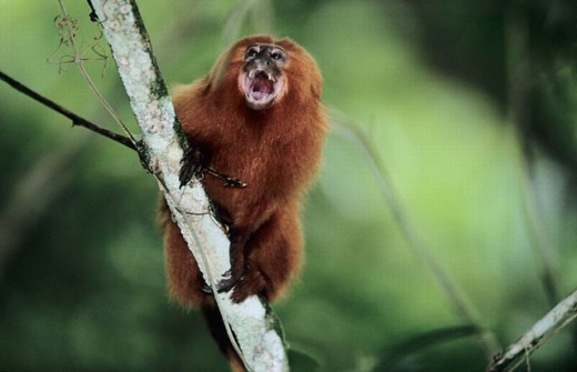 Golden Lion Tamarind (Leontopithecus rosalia) in coastal rainforest, reintroduction project. Rio de Janeiro, Brazil : Stock Photo