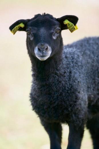 Stock Photo: 1566-250244 Sheep, lamb. Gotland. Sweden