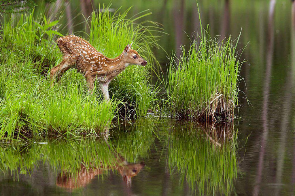White-tailed Deer (Odocoileus virginianus). Minnesota, USA : Stock Photo