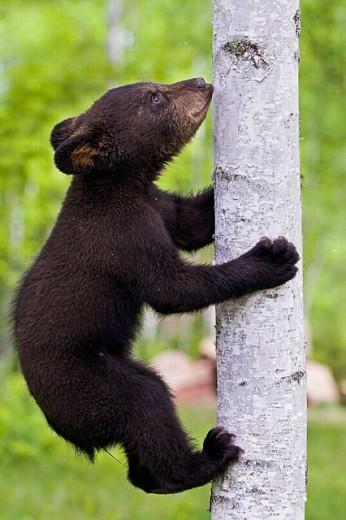 Black Bear (Ursus americanus) cub. Minnesota, USA : Stock Photo