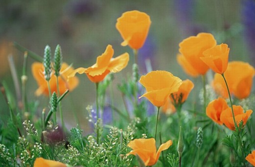 Mexican Goldpoppies. Superstition Mountains, Arizona, USA : Stock Photo