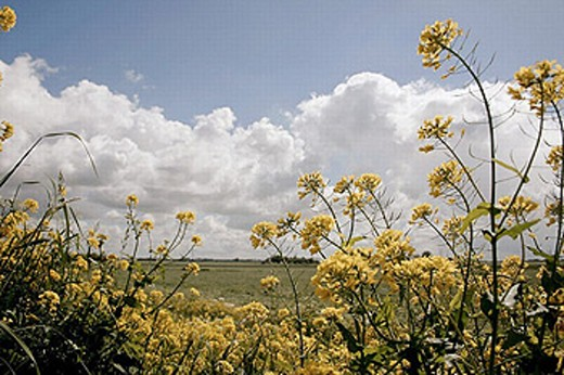 Stock Photo: 1566-251076 Rape field from below with cloudy sky. (Brassica napa var. Napa).