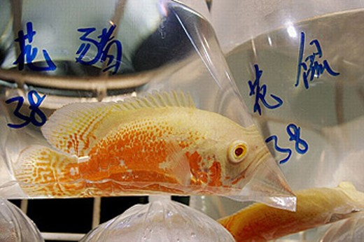 Stock Photo: 1566-251103 Pet market in Mong Kok. Fish dealer. Mong Kok. Kowloon Peninsula. Hong kong.