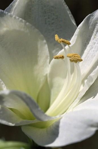 White lily : Stock Photo