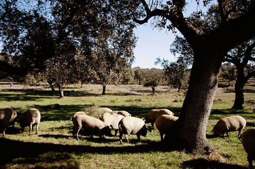 Stock Photo: 1566-251488 Iberian pigs near Jabugo. Huelva province, Andalusia. Spain