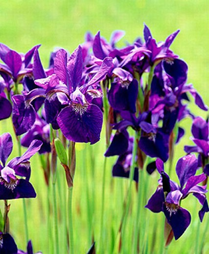 Stock Photo: 1566-251923 Dutch Iris (fam. Iridaceae) in early morning light. Upper Hood River Valley, Hood River County. Oregon, USA