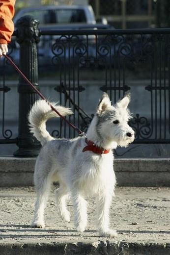 Stock Photo: 1566-253032 White pet dog during a walk - Dambovitza river bank, Bucharest, Romania