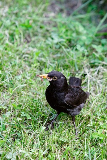 Blackbird with two worms in his beak - Cismigiu Park, Bucharest, Romania : Stock Photo