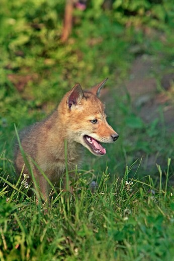 Coyote (Canis latrans), juvenile : Stock Photo