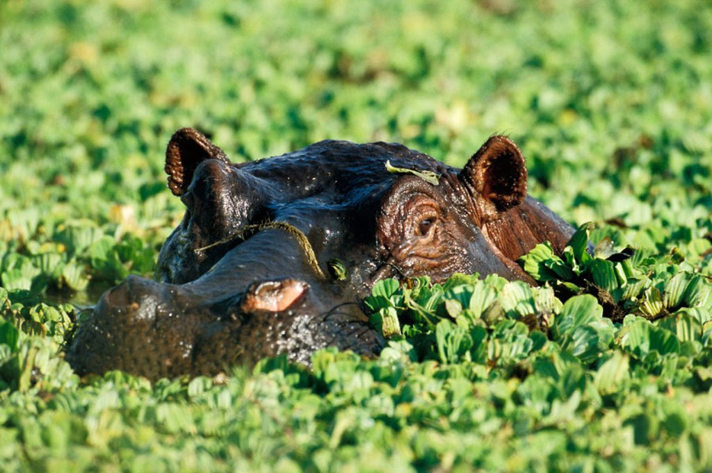 Hippo resting in the safety of a pond, which was complete covered with waterplants. : Stock Photo