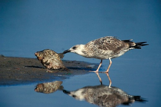 Immature Herring Gull strive to kill a fish, who try to survive in the rest of a pond in a dry summertime. : Stock Photo