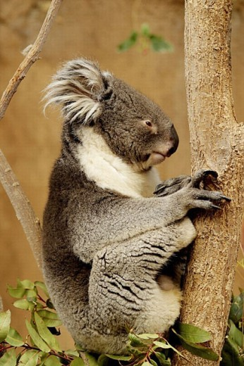 Stock Photo: 1566-254344 Koala Bear, Albuquerque zoo, New Mexico, USA