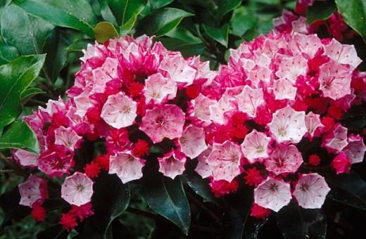 Mountain Laurel (Kalmia latifolia) garden flower. Ashland, Oregon, USA : Stock Photo