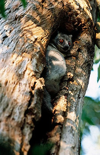 White-footed Sportive Lemur (Lepilemur leucopus). Berenty Reserve, Madagascar : Stock Photo